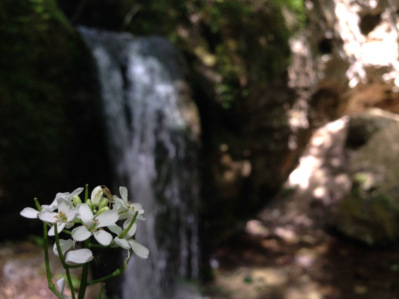 Close-up of white flowers blooming with waterfall in background