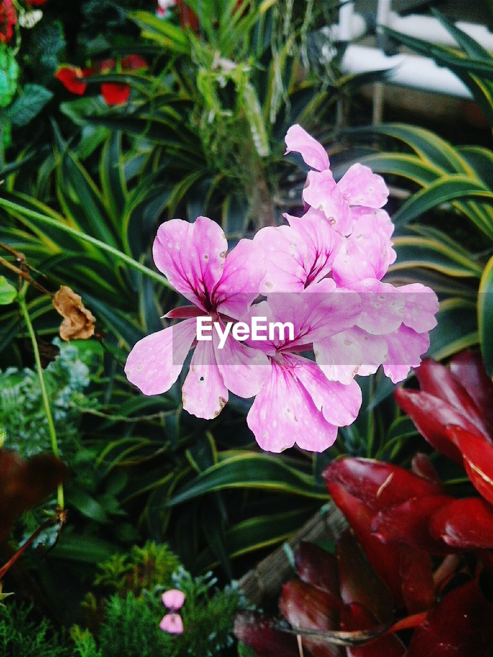 flower, growth, petal, nature, fragility, pink color, beauty in nature, no people, plant, flower head, outdoors, day, freshness, blooming, leaf, close-up, periwinkle