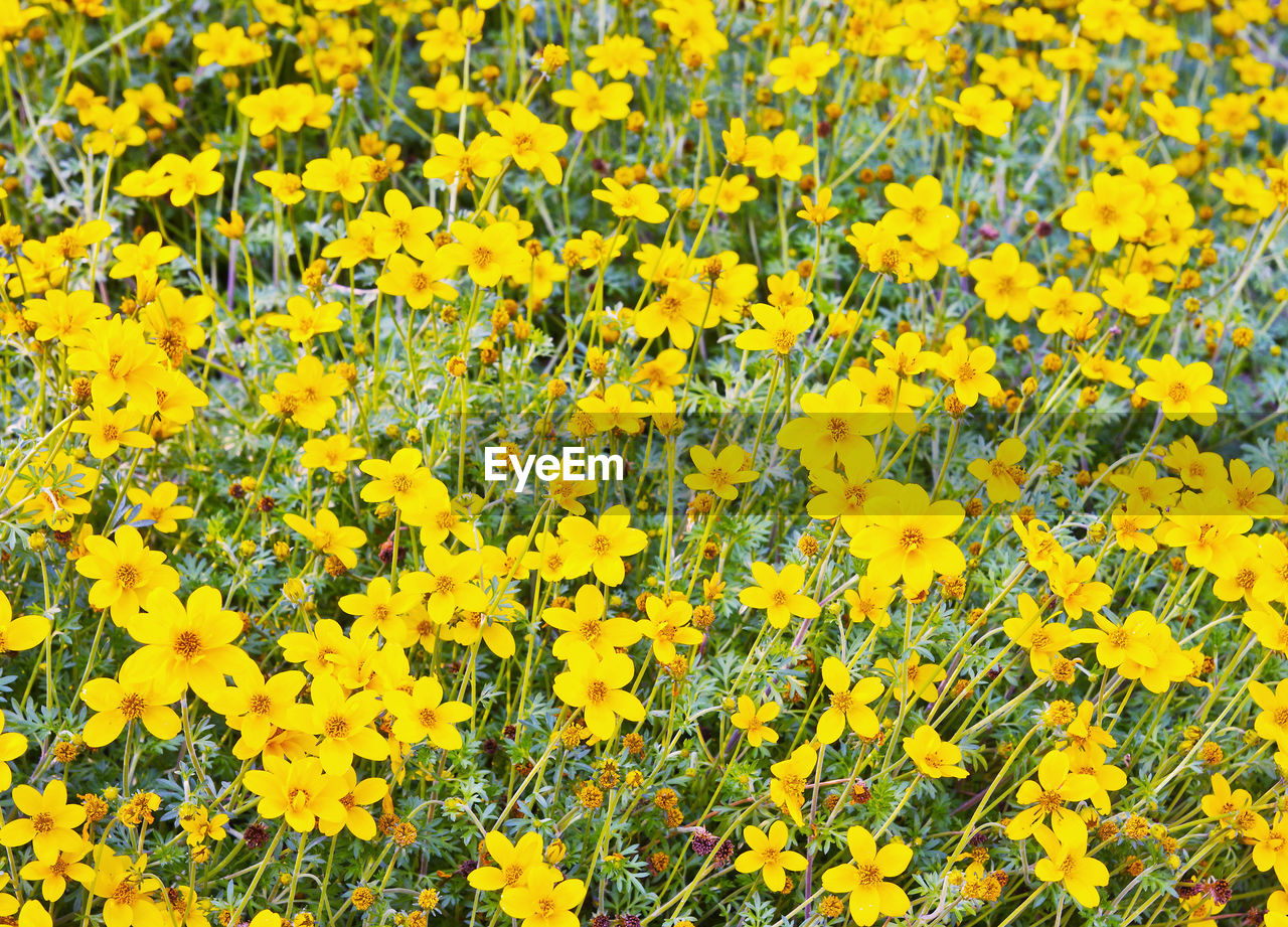 HIGH ANGLE VIEW OF YELLOW FLOWERING PLANT ON FIELD