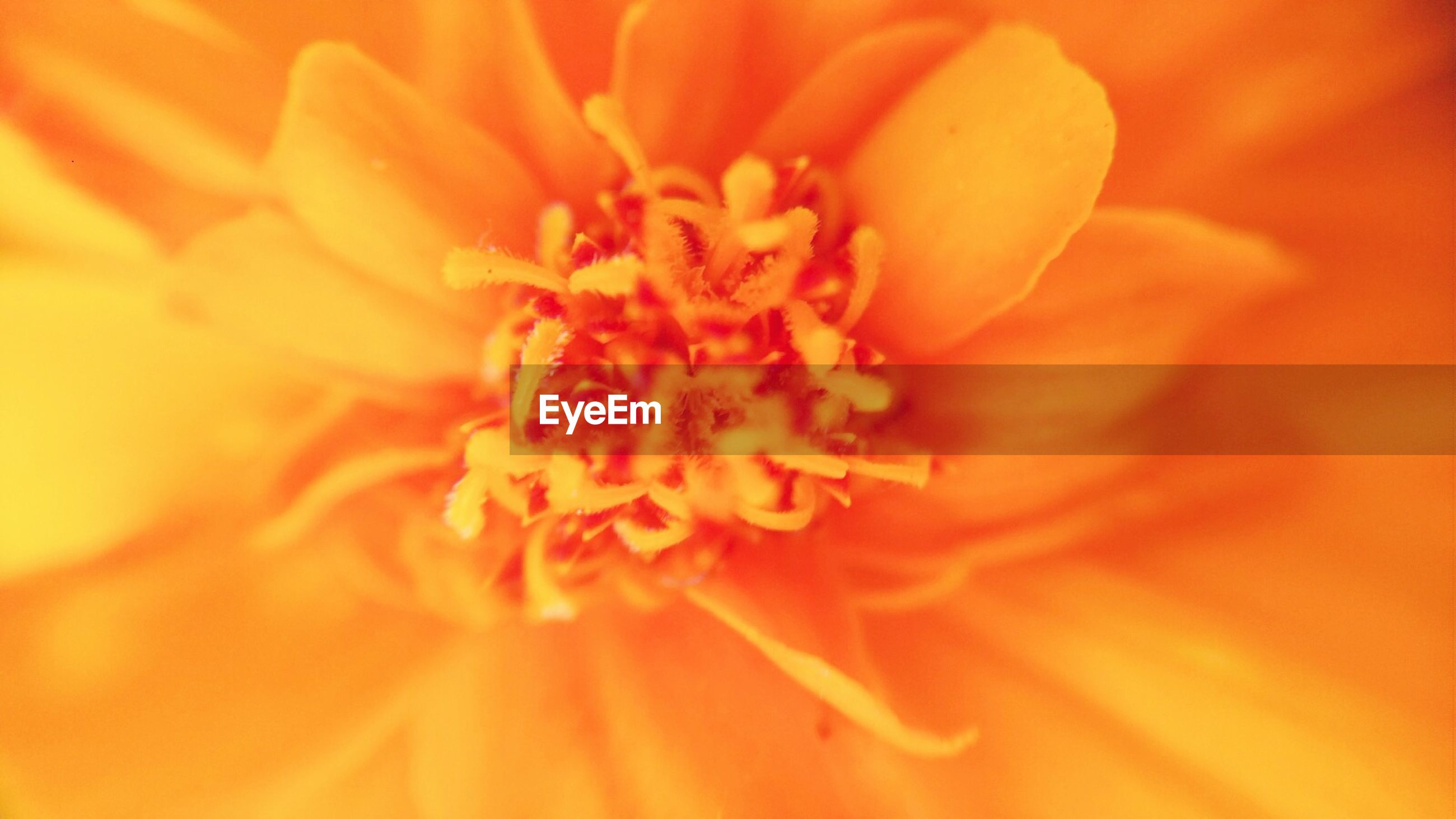 EXTREME CLOSE-UP OF MARIGOLD FLOWER