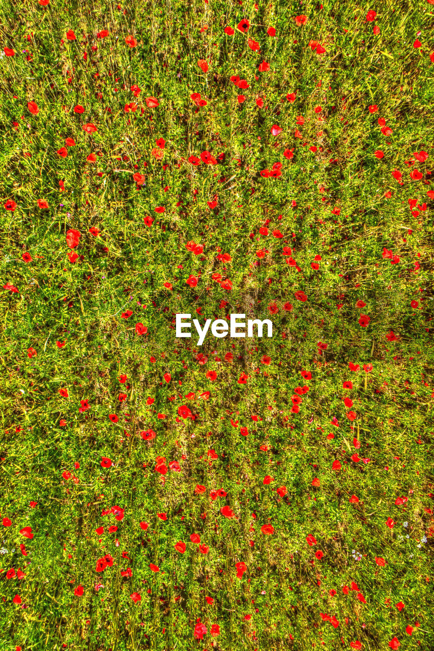 red, plant, freshness, no people, nature, grass, backgrounds, beauty in nature, flower, green color, land, full frame, growth, flowering plant, outdoors, day, close-up, vibrant color, fruit, leaf