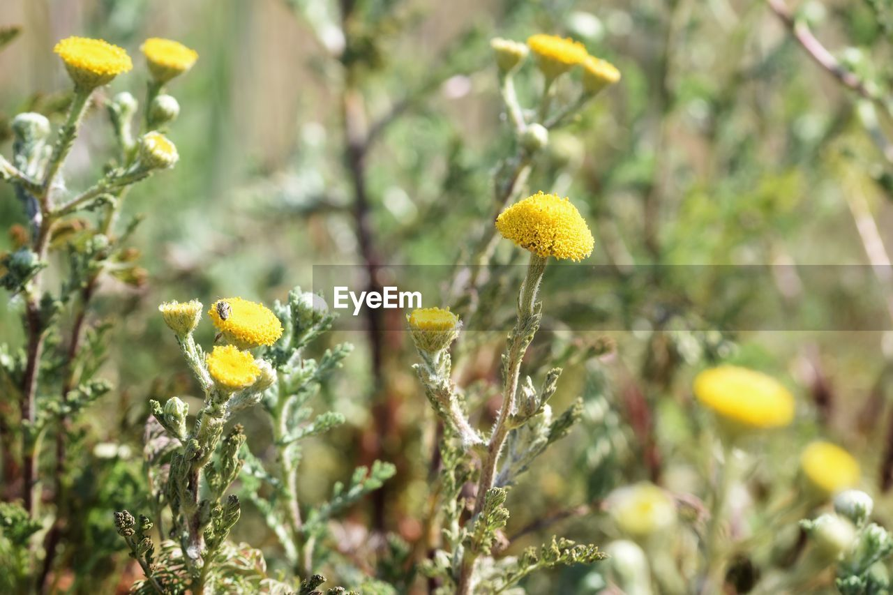 plant, growth, yellow, flower, freshness, beauty in nature, flowering plant, vulnerability, fragility, close-up, nature, selective focus, flower head, focus on foreground, day, no people, inflorescence, plant stem, field, petal, outdoors