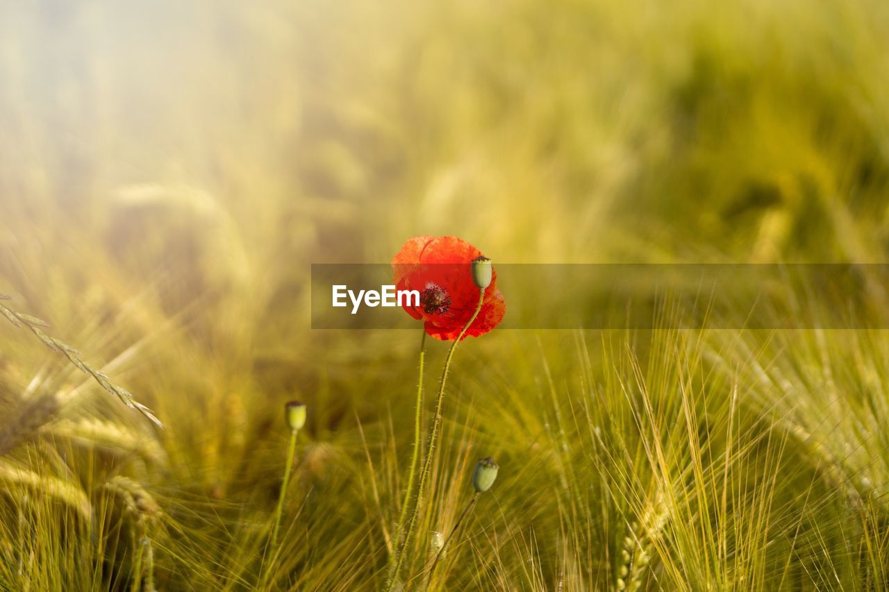 CLOSE-UP OF RED POPPY GROWING IN WHEAT FIELD