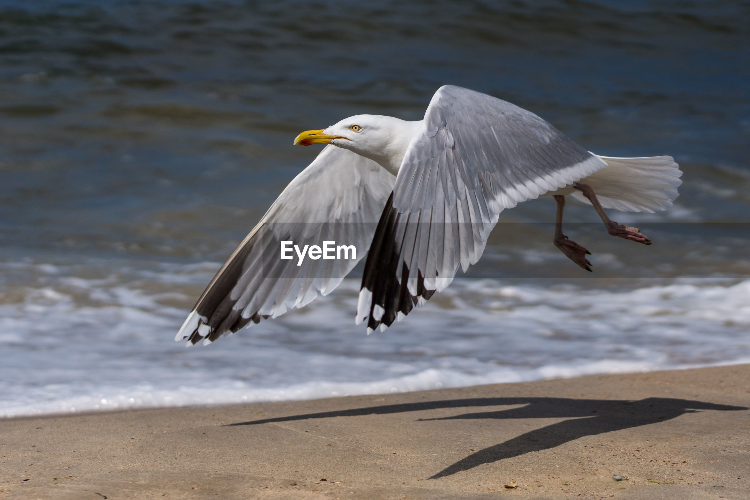Close-up of seagull flying at beach during sunny day