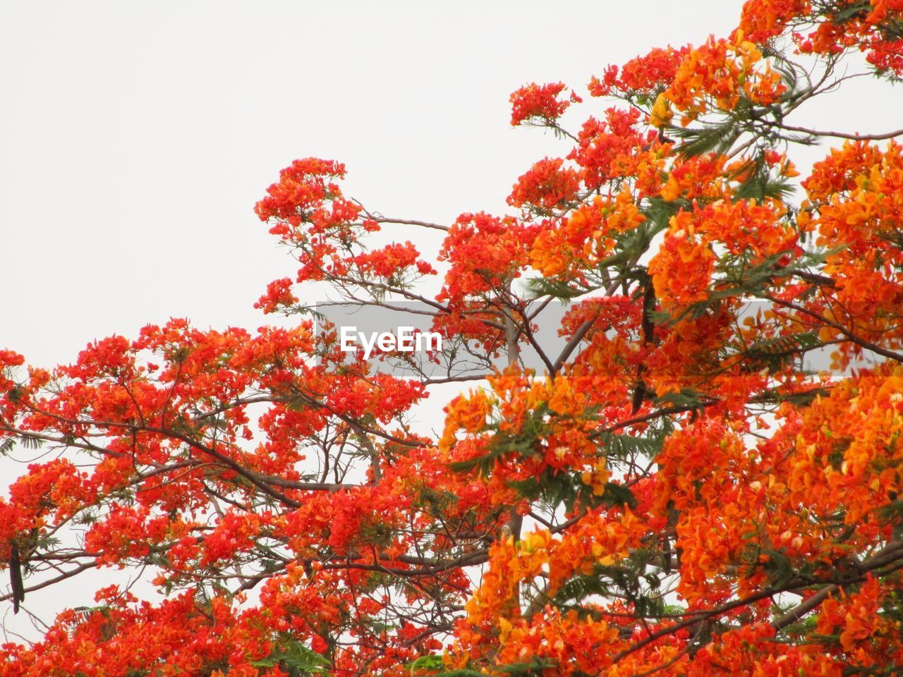 tree, beauty in nature, autumn, growth, low angle view, nature, branch, flower, orange color, no people, outdoors, leaf, change, clear sky, day, freshness, fragility, springtime, sky, scenics, close-up