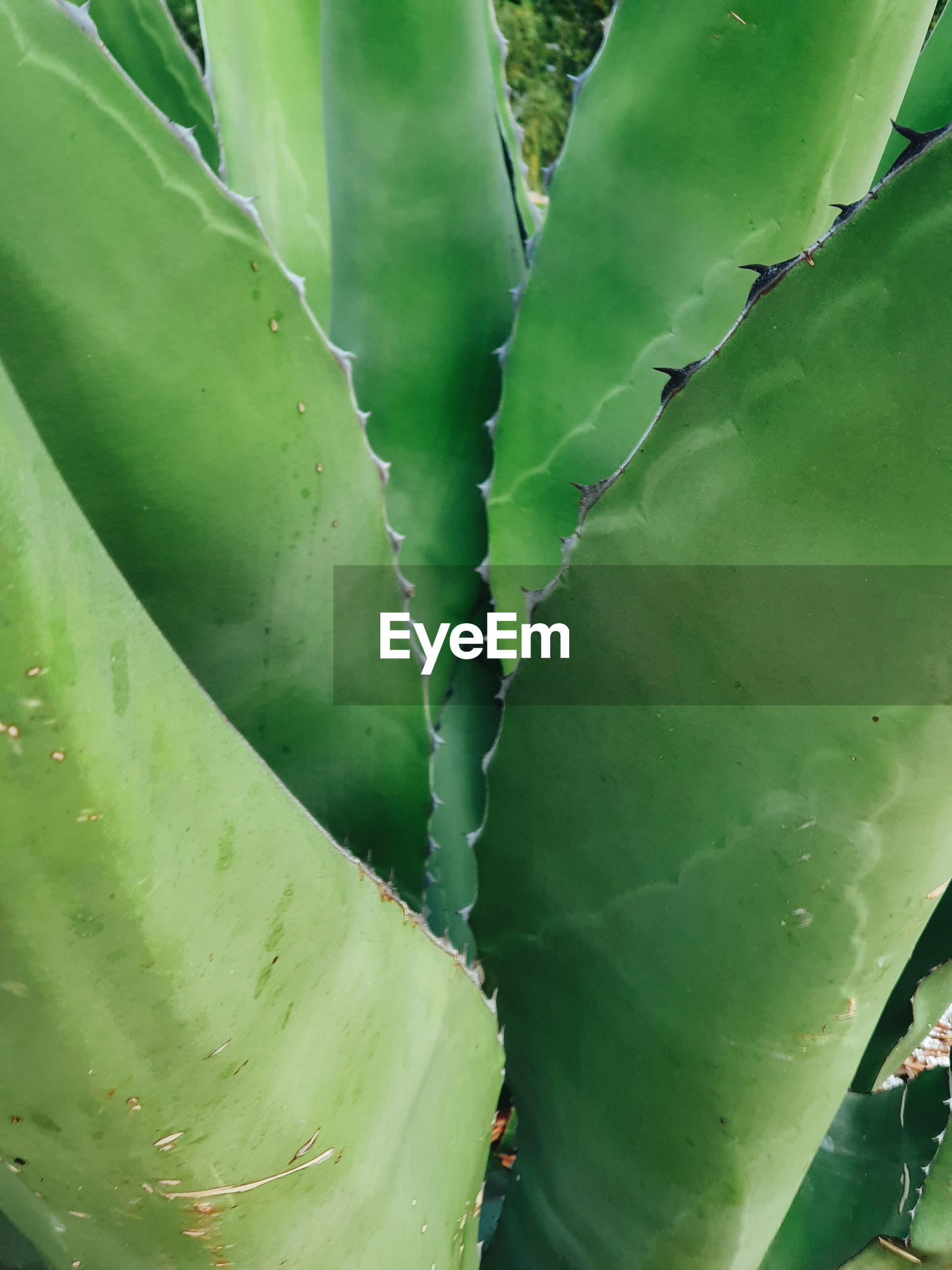 FULL FRAME OF SUCCULENT PLANT
