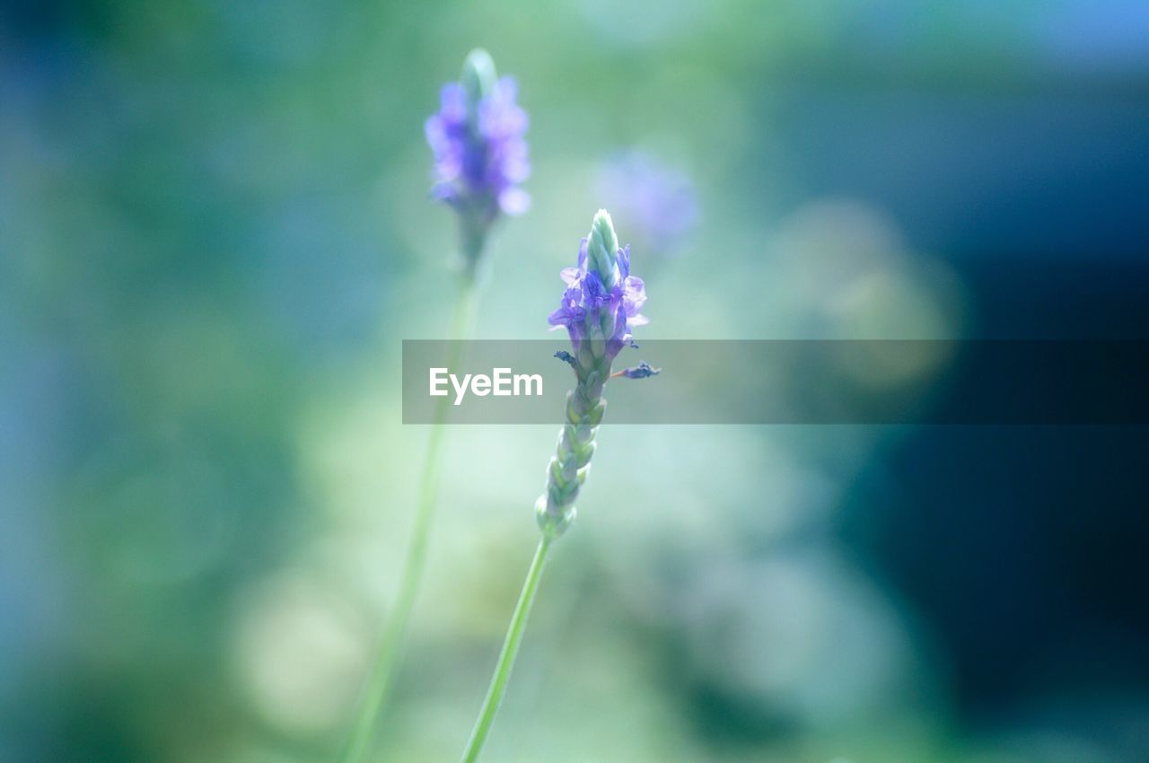 nature, flower, growth, beauty in nature, fragility, plant, focus on foreground, outdoors, purple, day, no people, close-up, freshness