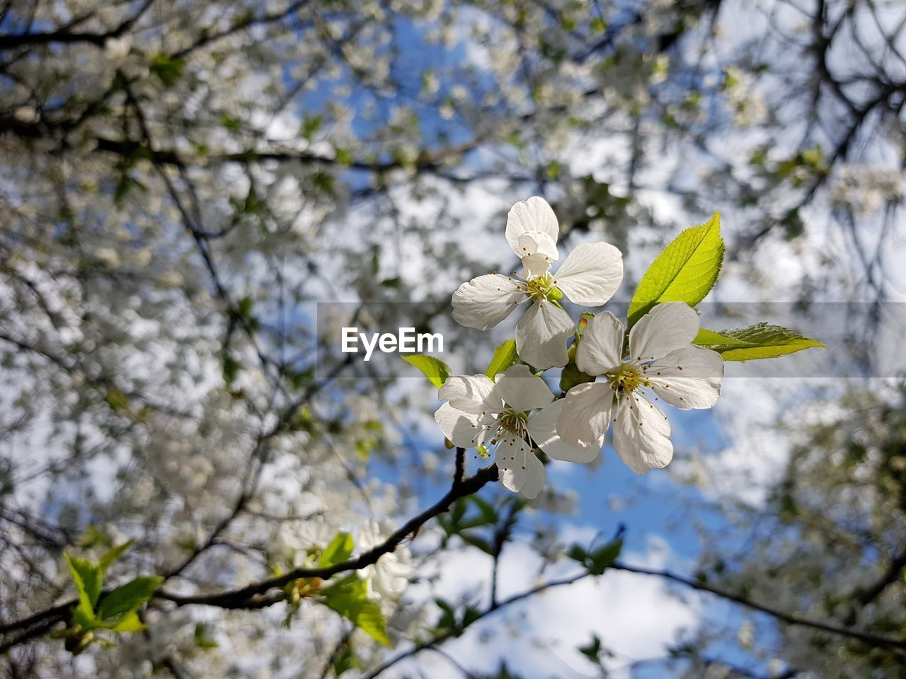 flowering plant, flower, plant, fragility, vulnerability, freshness, growth, beauty in nature, tree, blossom, petal, white color, inflorescence, flower head, branch, low angle view, nature, day, springtime, focus on foreground, cherry blossom, no people, pollen, outdoors, cherry tree, spring