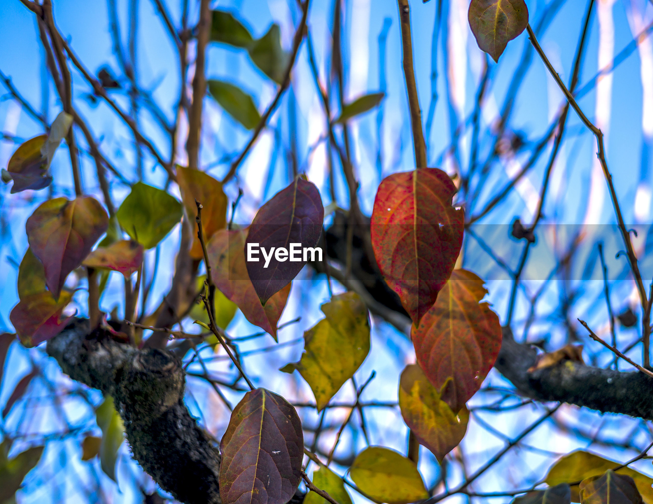 leaf, close-up, focus on foreground, blue, autumn, change, branch, season, nature, leaves, low angle view, day, sky, dry, tree, outdoors, no people, growth, fence, sunlight
