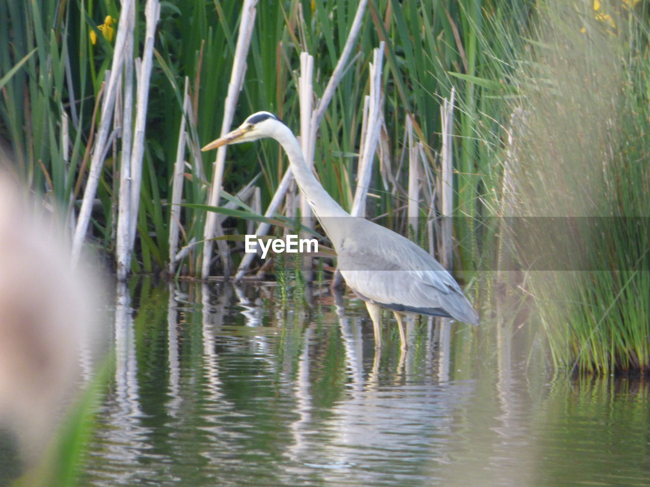 heron, bird, animals in the wild, water, nature, animal themes, great egret, gray heron, one animal, great blue heron, animal wildlife, egret, reflection, day, lake, beauty in nature, plant, outdoors, no people, grass, crane - bird, perching