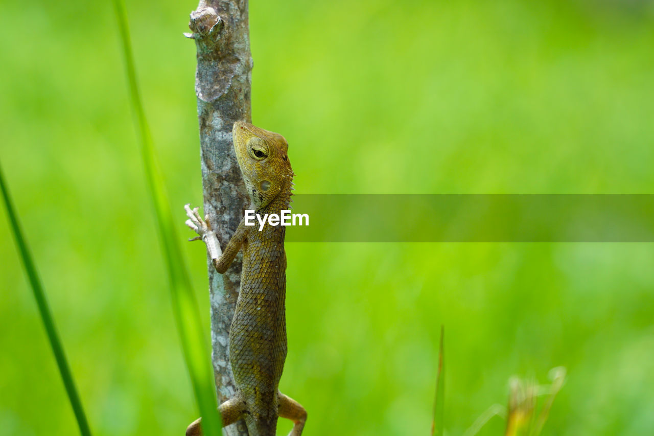 animal, animal wildlife, animal themes, animals in the wild, vertebrate, one animal, no people, lizard, nature, focus on foreground, plant, close-up, reptile, day, green color, looking away, looking, outdoors, tree, selective focus, animal scale