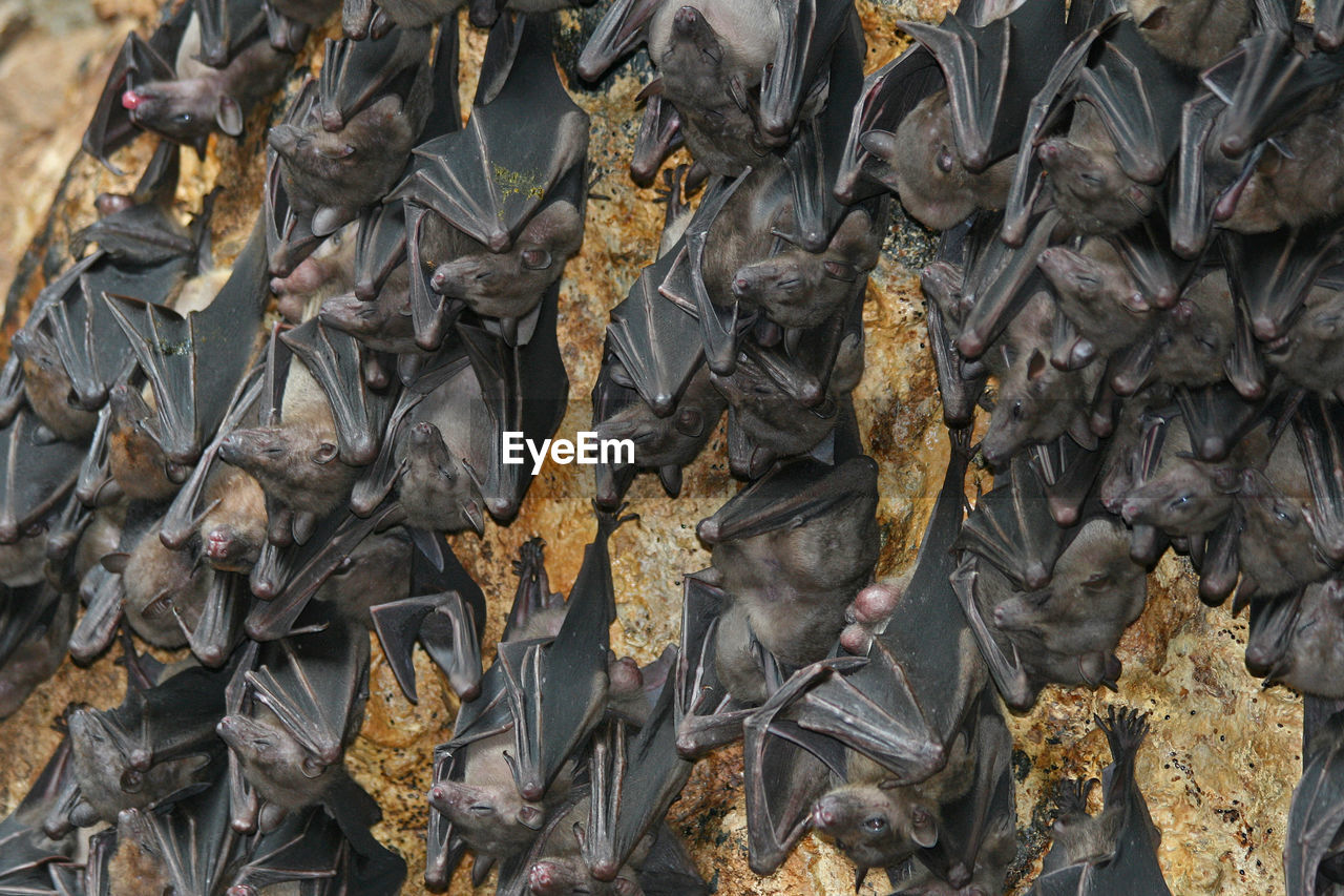 Full frame shot of bats hanging on rock