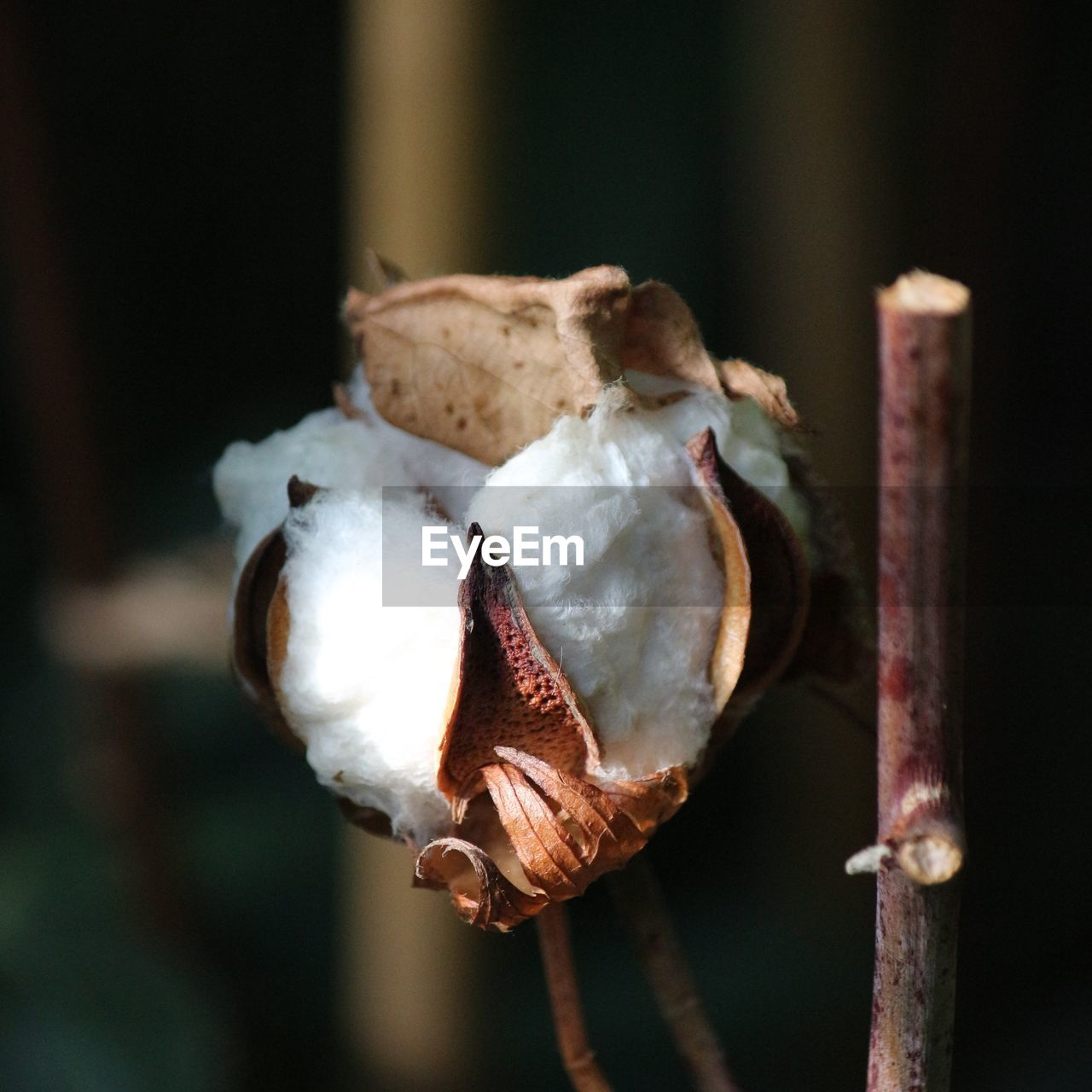 CLOSE-UP OF DRIED FLOWER