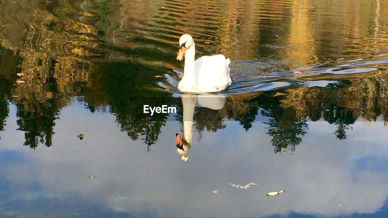 White swan swimming with reflection in lake