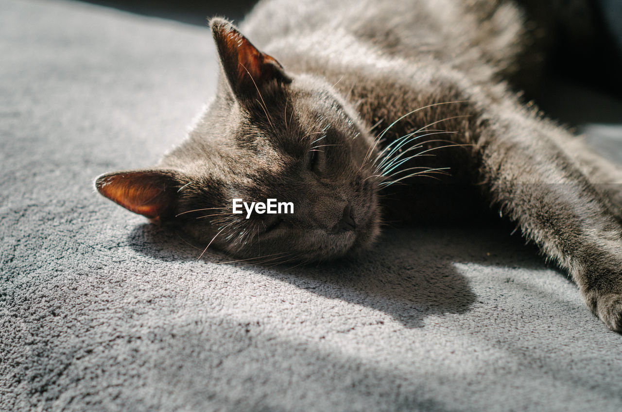 one animal, domestic, animal themes, pets, mammal, domestic animals, animal, cat, domestic cat, feline, vertebrate, relaxation, close-up, no people, sleeping, resting, lying down, animal body part, eyes closed, whisker, animal head, napping