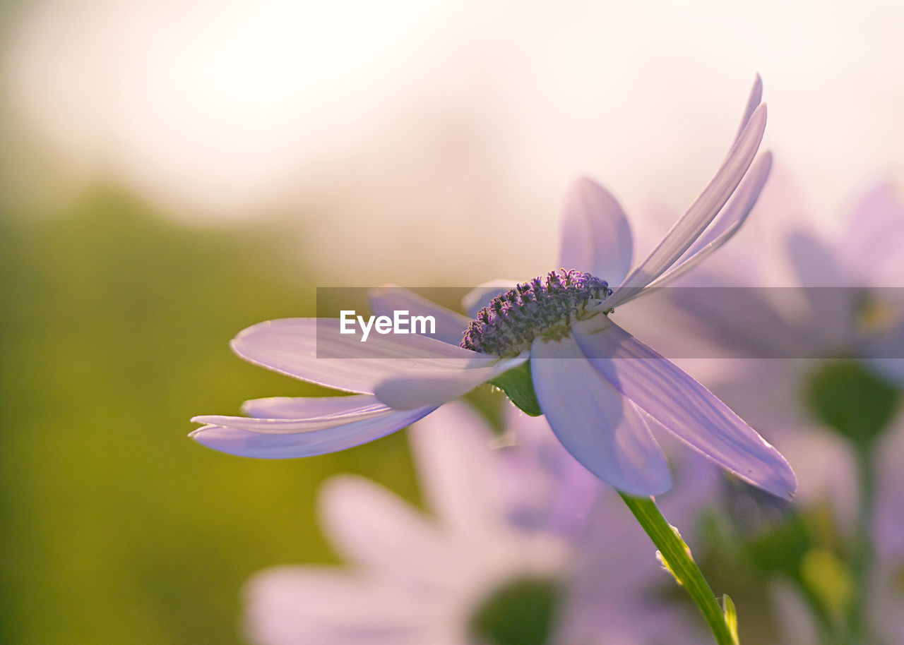 CLOSE-UP OF PURPLE CONEFLOWER ON FLOWER