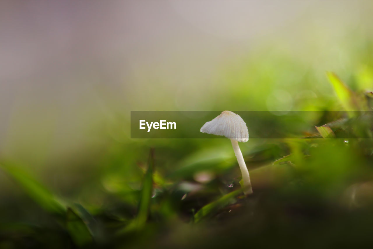 growth, plant, mushroom, selective focus, fungus, beauty in nature, vulnerability, close-up, vegetable, fragility, nature, no people, land, freshness, food, white color, toadstool, green color, day, field, outdoors, small