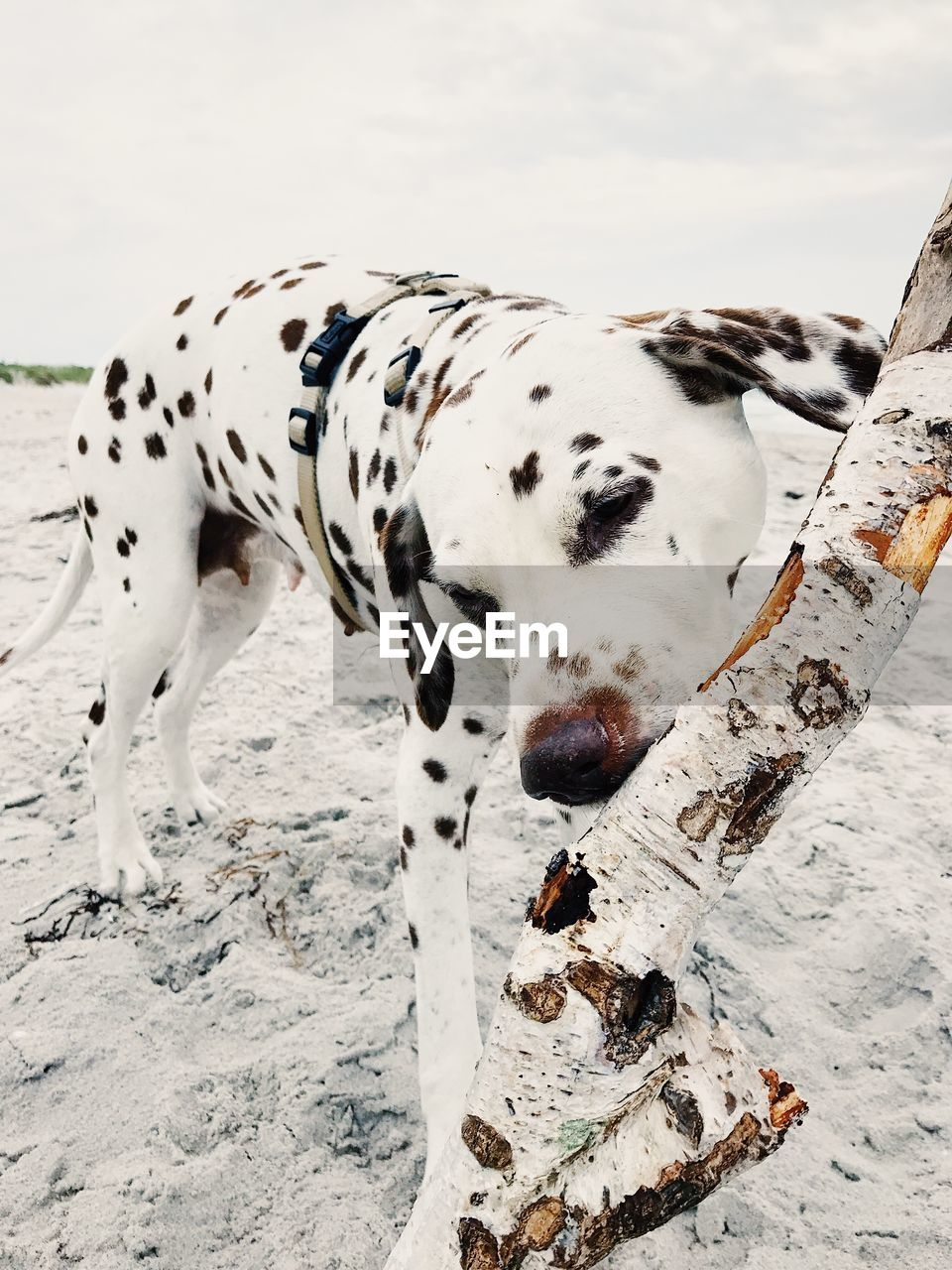 dalmatian dog, white color, dog, one animal, mammal, canine, vertebrate, animal, domestic, animal themes, domestic animals, pets, spotted, day, no people, land, field, nature, focus on foreground, outdoors, purebred dog