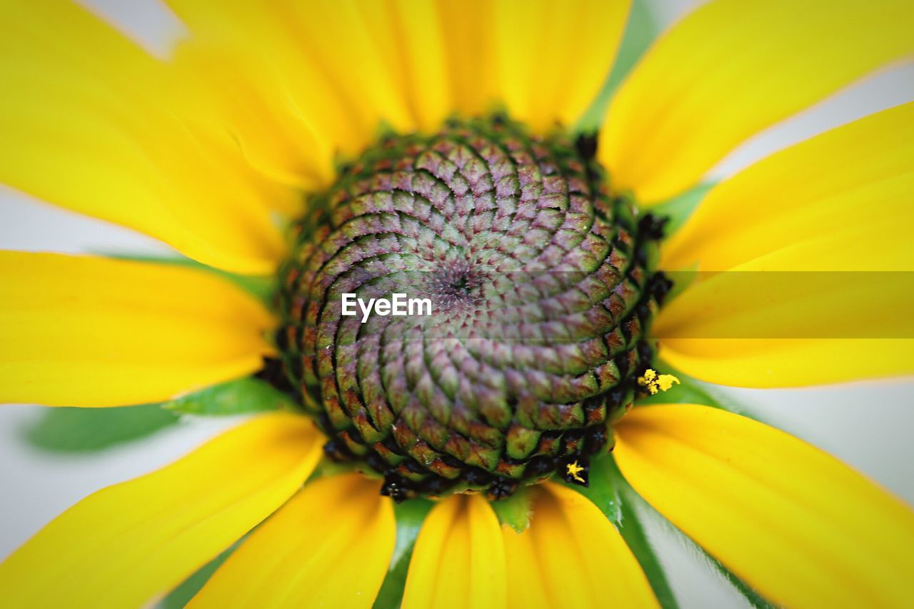flower, fragility, petal, yellow, beauty in nature, freshness, flower head, nature, sunflower, growth, pollen, close-up, day, plant, no people, outdoors, blooming, black-eyed susan