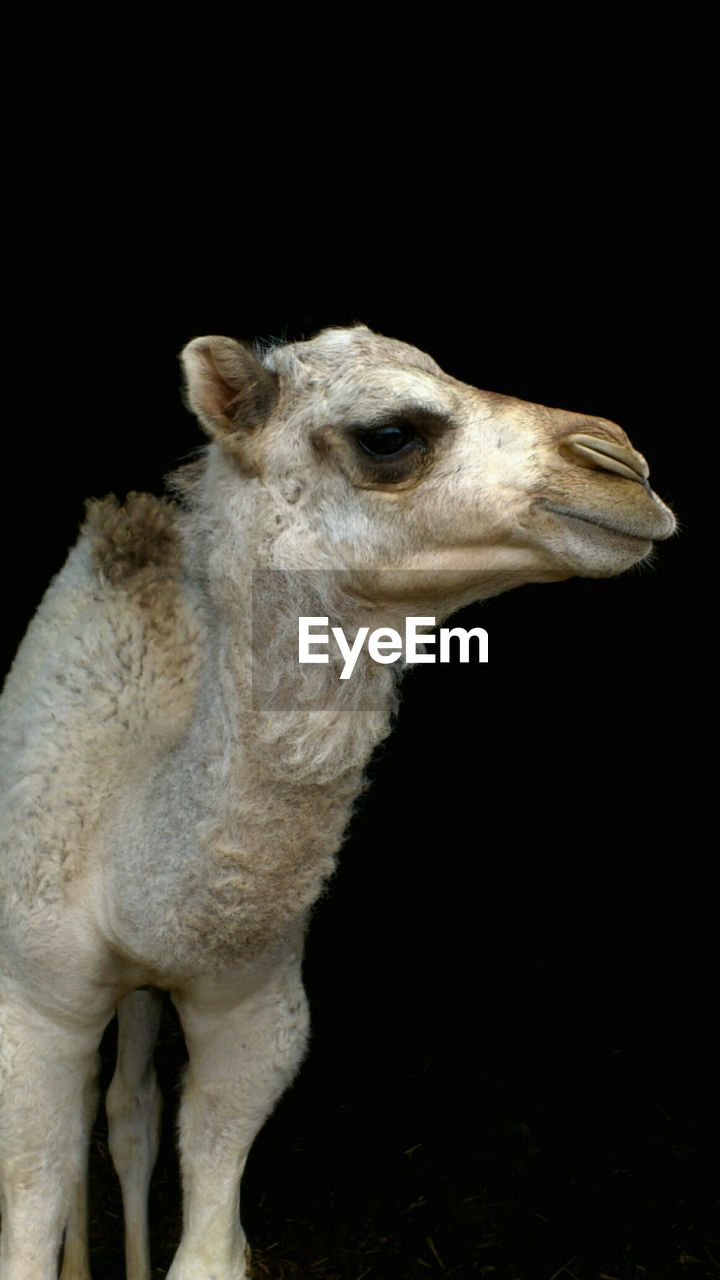 Close-up of camel against black background