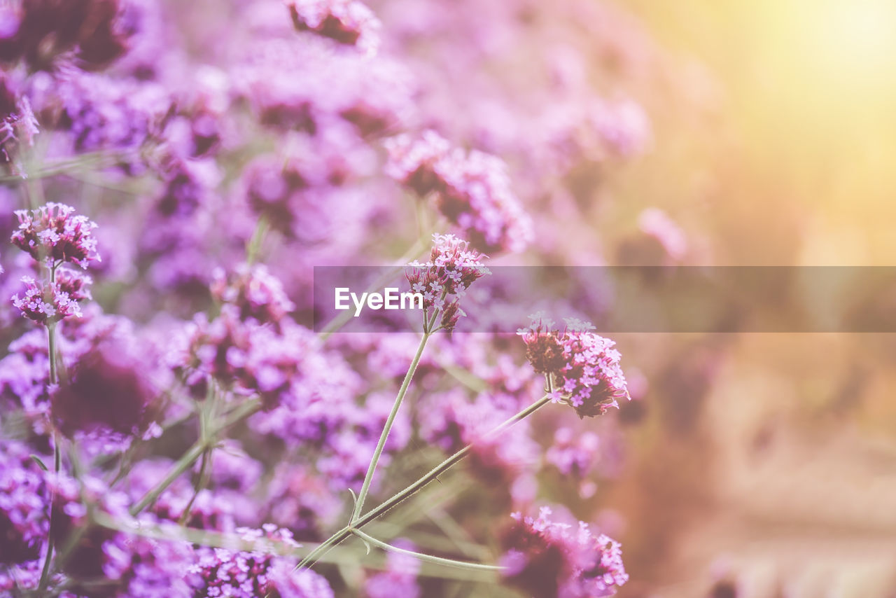 flower, flowering plant, plant, fragility, beauty in nature, growth, vulnerability, freshness, close-up, nature, purple, selective focus, day, no people, focus on foreground, petal, pink color, flower head, outdoors, botany, springtime, lavender, lilac