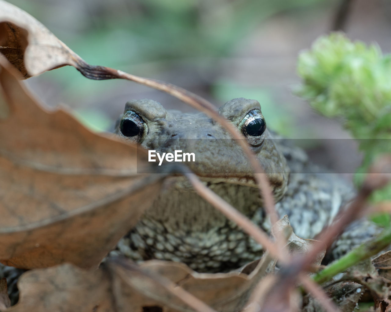 animal, animal wildlife, animals in the wild, animal themes, one animal, selective focus, vertebrate, close-up, no people, day, nature, reptile, animal body part, outdoors, plant part, leaf, zoology, insect, animal head, plant, animal eye