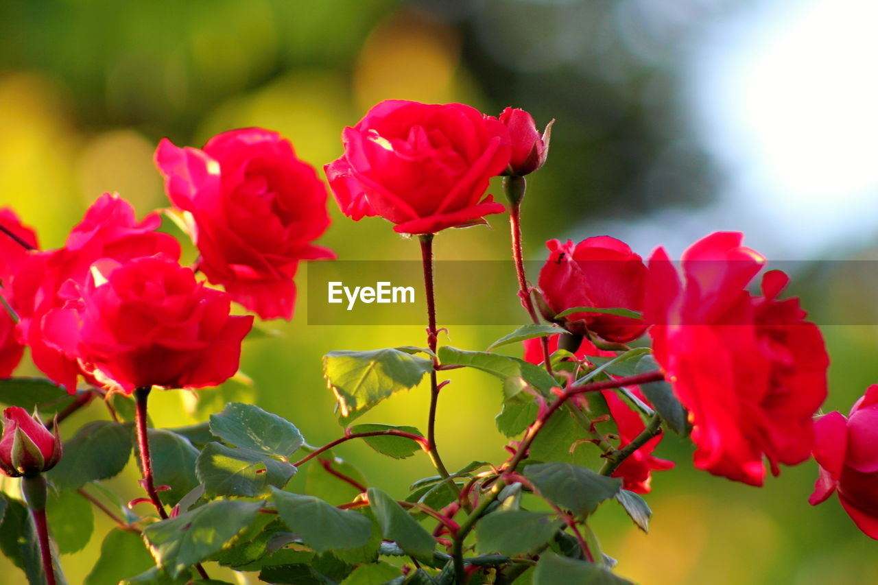 flowering plant, flower, beauty in nature, plant, fragility, vulnerability, petal, freshness, red, flower head, growth, close-up, inflorescence, rose, rose - flower, nature, focus on foreground, plant part, leaf, no people