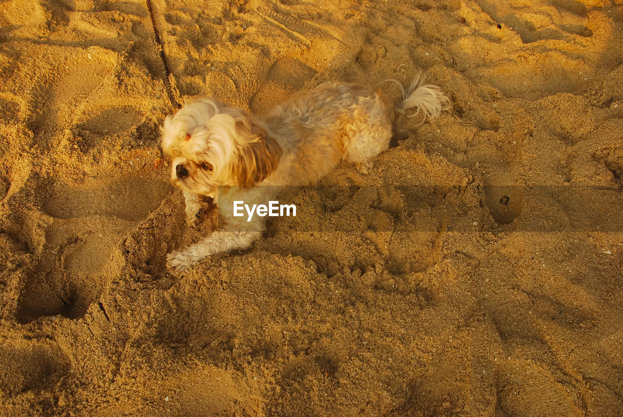 mammal, animal themes, one animal, animal, domestic animals, vertebrate, canine, dog, pets, domestic, no people, sand, high angle view, brown, day, land, nature, dirt, outdoors, motion