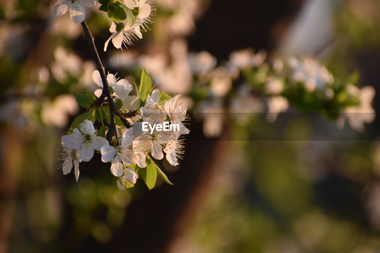plant, growth, flower, flowering plant, beauty in nature, vulnerability, fragility, freshness, close-up, nature, day, focus on foreground, petal, selective focus, no people, tree, flower head, white color, inflorescence, outdoors, springtime, cherry blossom, cherry tree