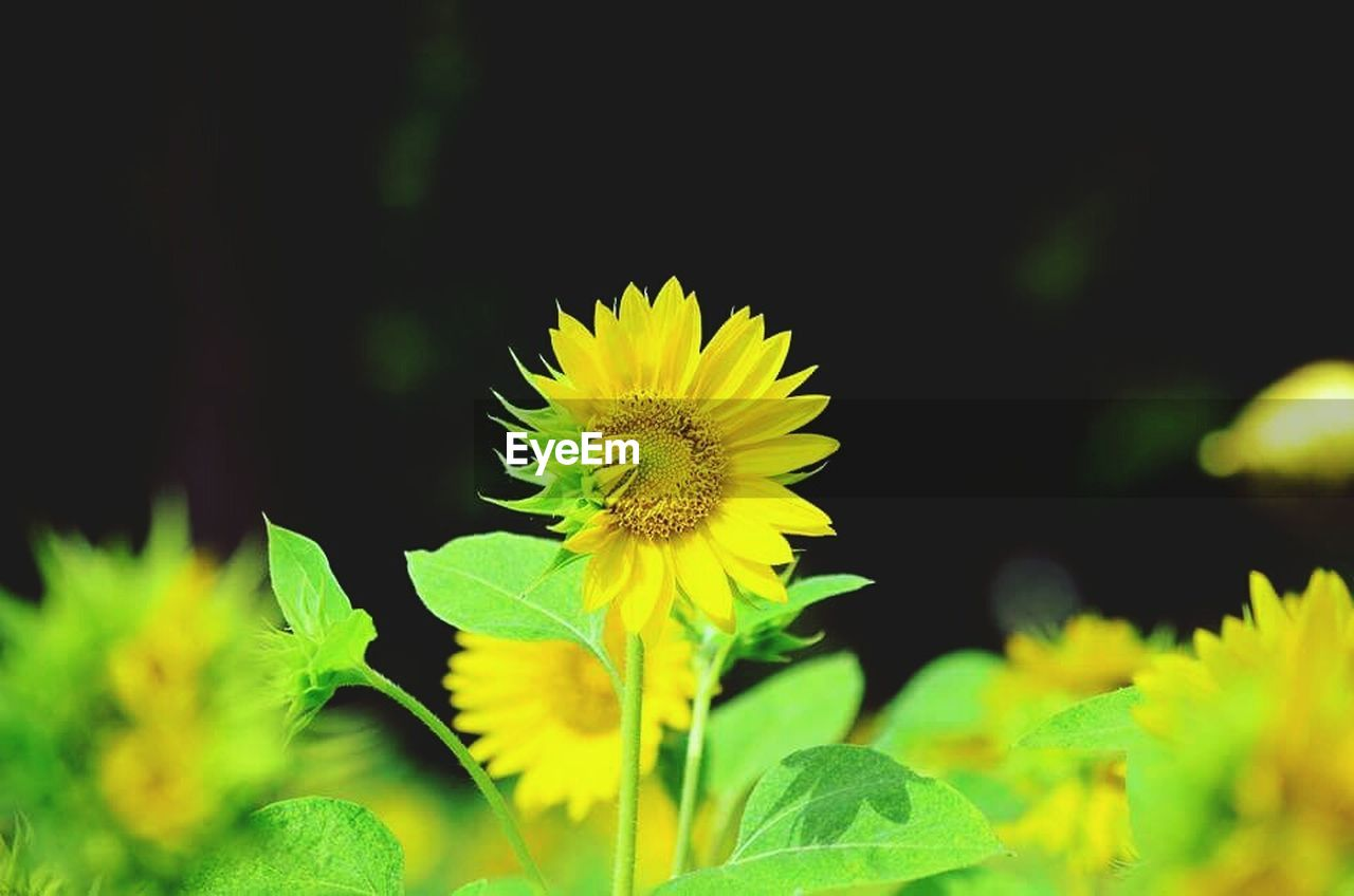 flower, yellow, growth, plant, nature, petal, fragility, beauty in nature, flower head, sunflower, freshness, blossom, leaf, outdoors, close-up, summer, springtime, blooming, no people, day