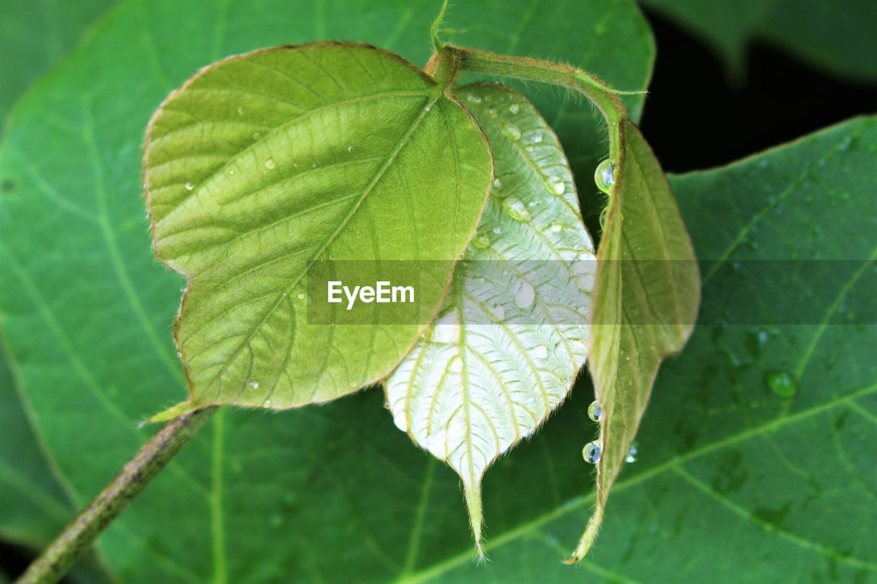 leaf, green color, nature, growth, close-up, beauty in nature, plant, day, outdoors, no people, freshness, fragility, water