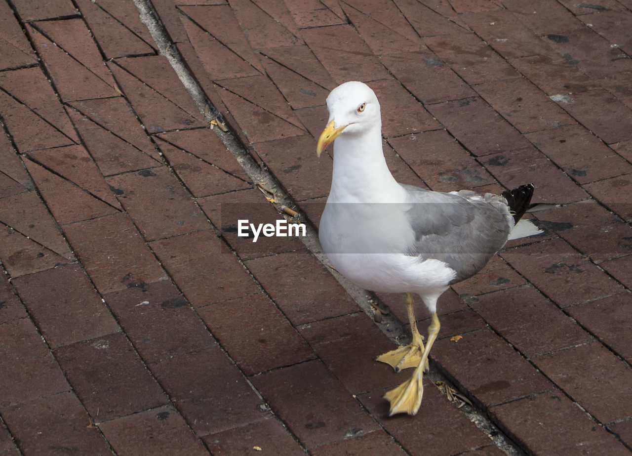 HIGH ANGLE VIEW OF SEAGULL ON FOOTPATH BY WATER
