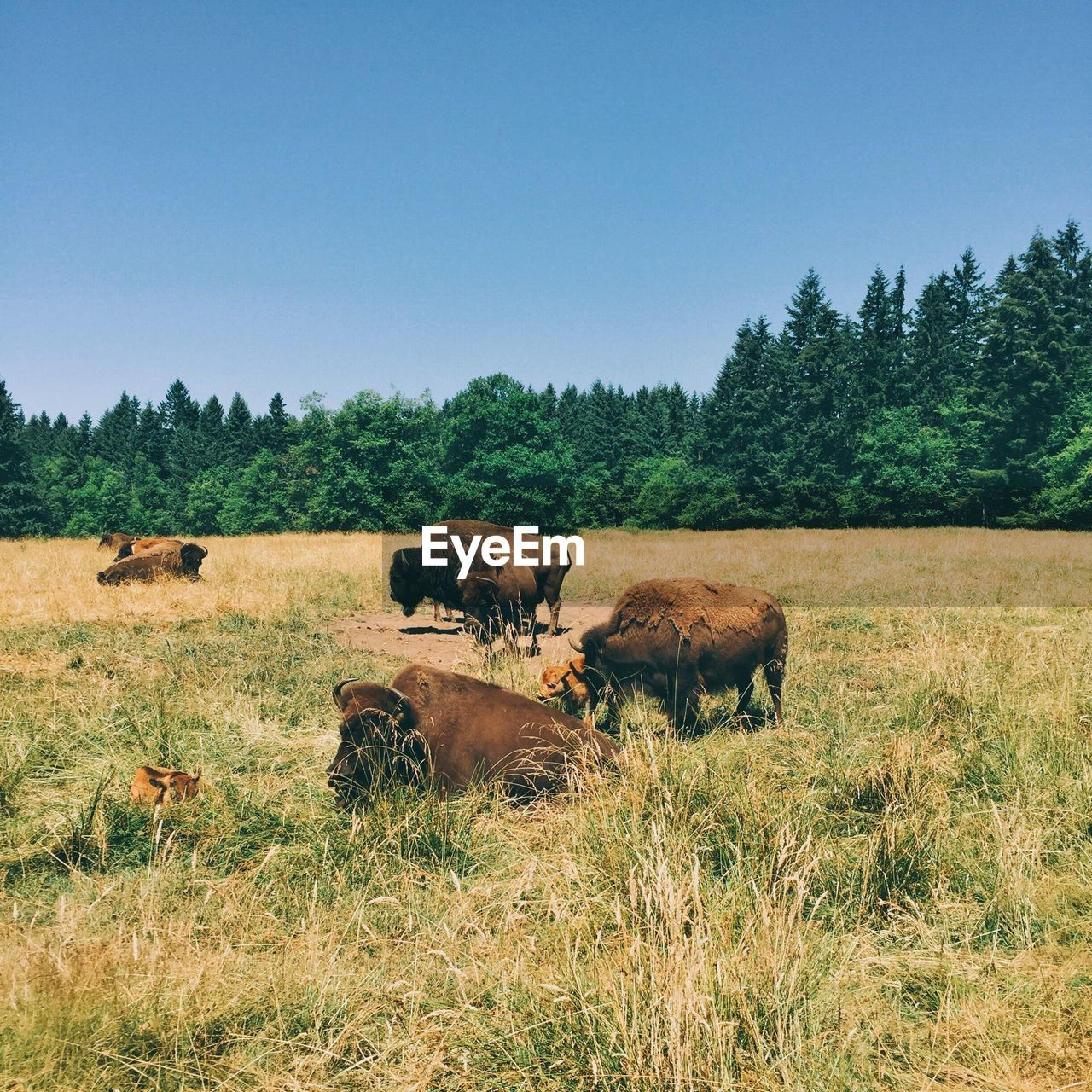 American Bison On Grassy Field Against Clear Blue Sky