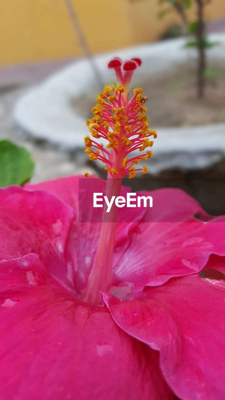flower, petal, nature, fragility, beauty in nature, pink color, growth, flower head, freshness, close-up, red, no people, outdoors, blooming, plant, hibiscus, day