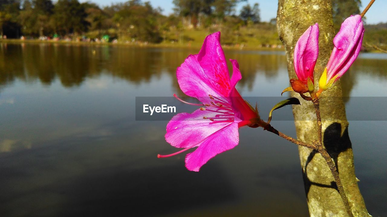 Close-Up Of Pink Flower On Lake