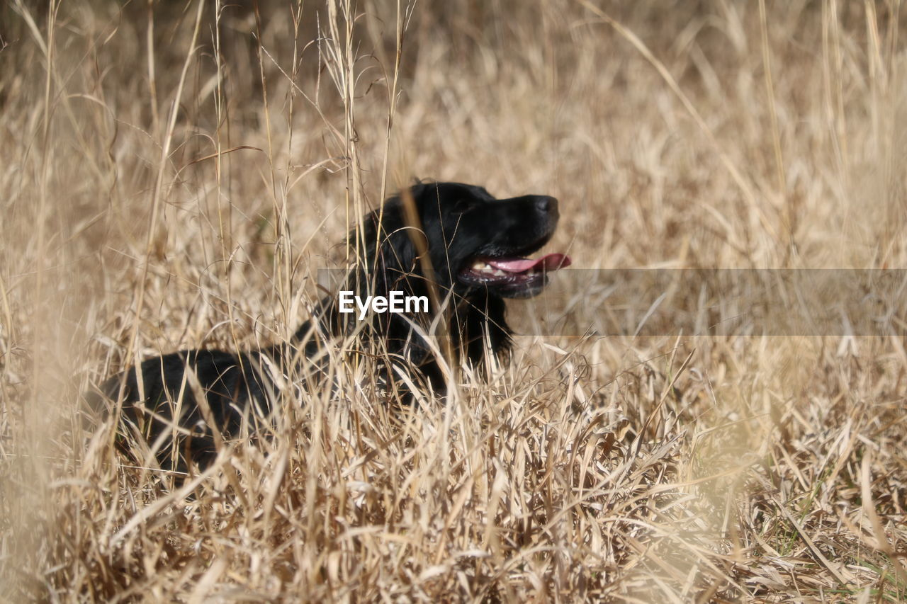 one animal, animal, animal themes, domestic, pets, domestic animals, mammal, vertebrate, canine, dog, plant, land, nature, grass, field, no people, day, selective focus, facial expression, outdoors, animal head, animal tongue, mouth open