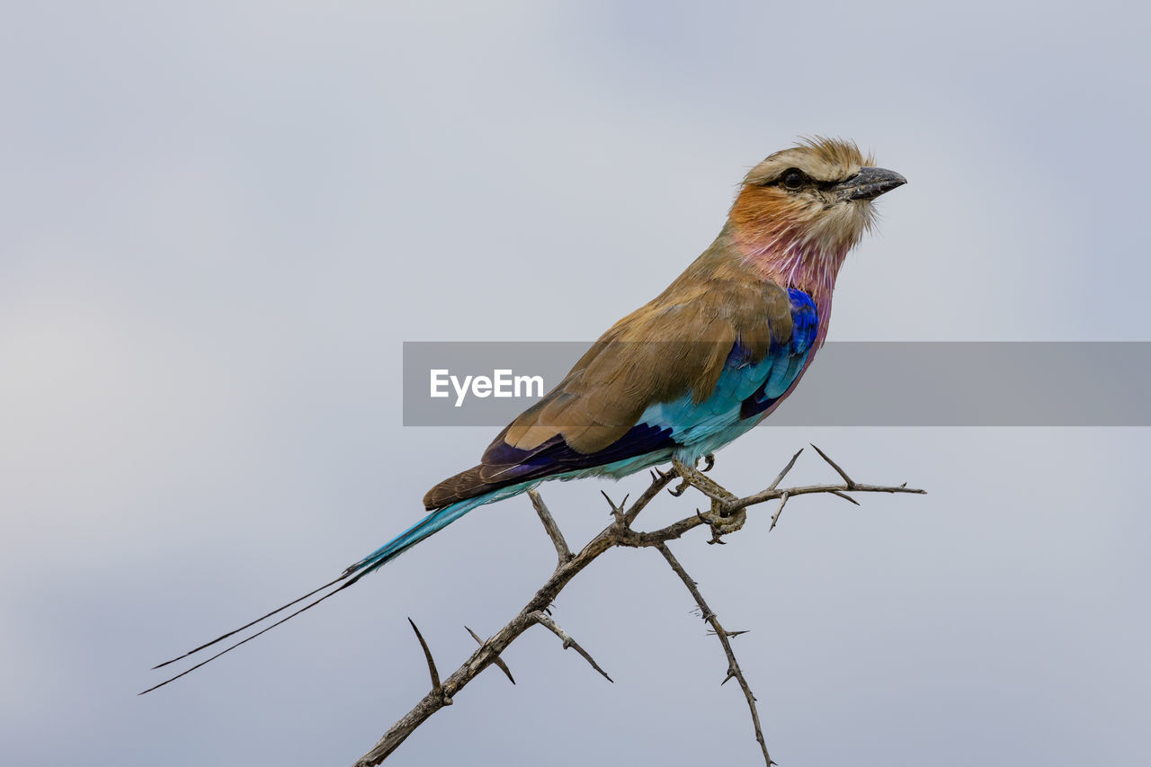 animal, animal themes, bird, vertebrate, animal wildlife, one animal, animals in the wild, perching, sky, no people, day, copy space, clear sky, nature, blue, branch, outdoors, low angle view, plant, close-up