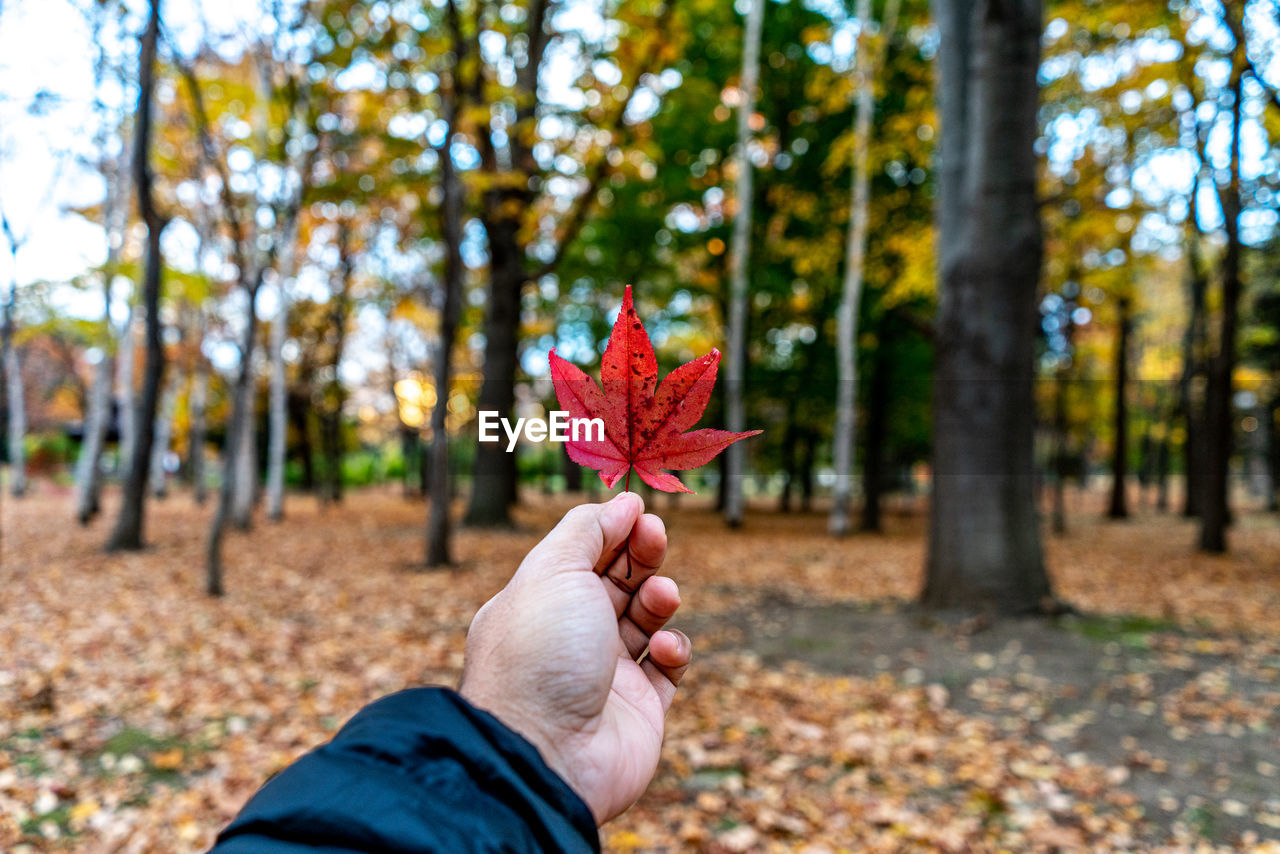 Person holding maple leaf against trees during autumn