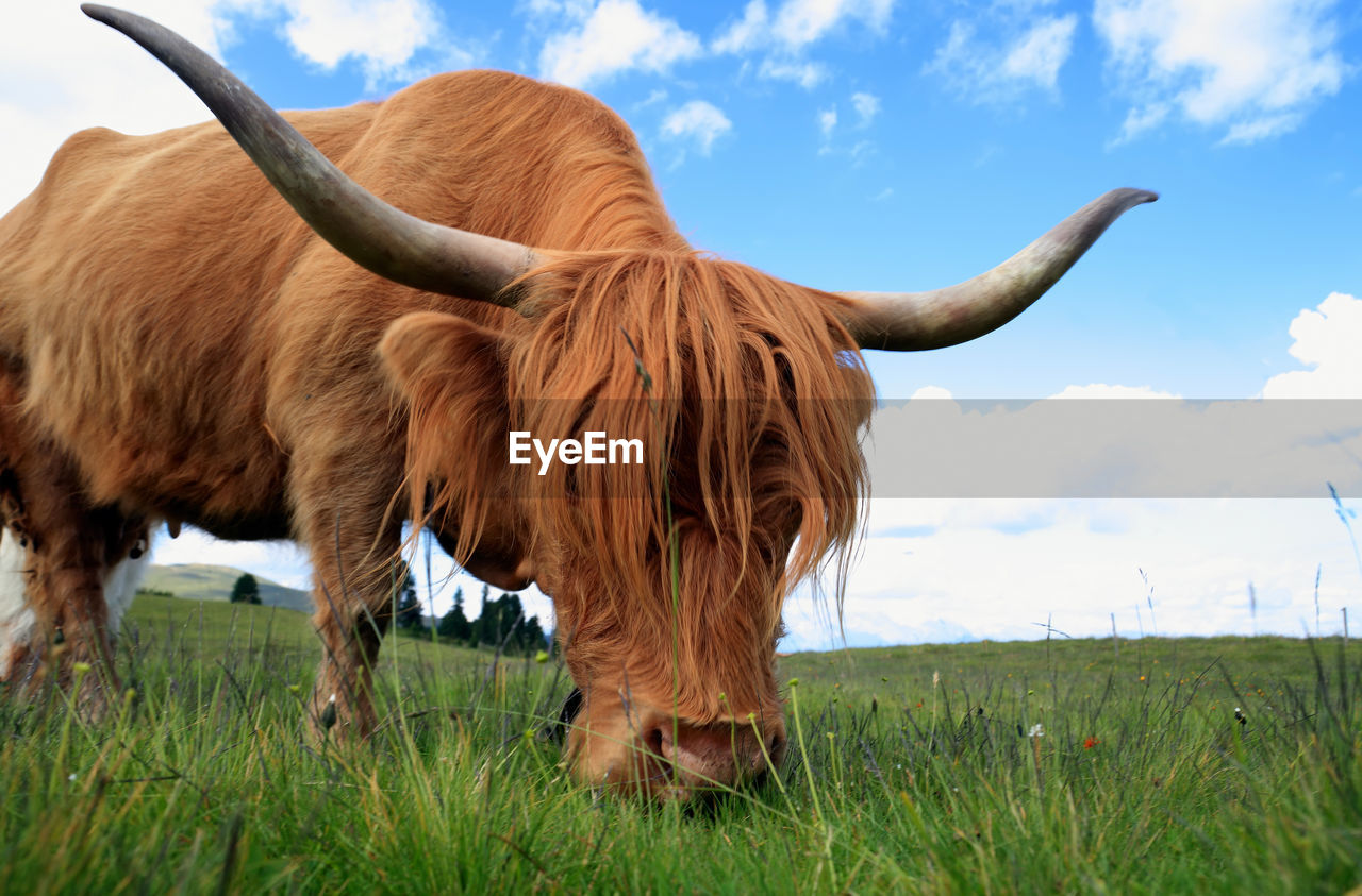 Highland Cattle Standing On Field Against Sky