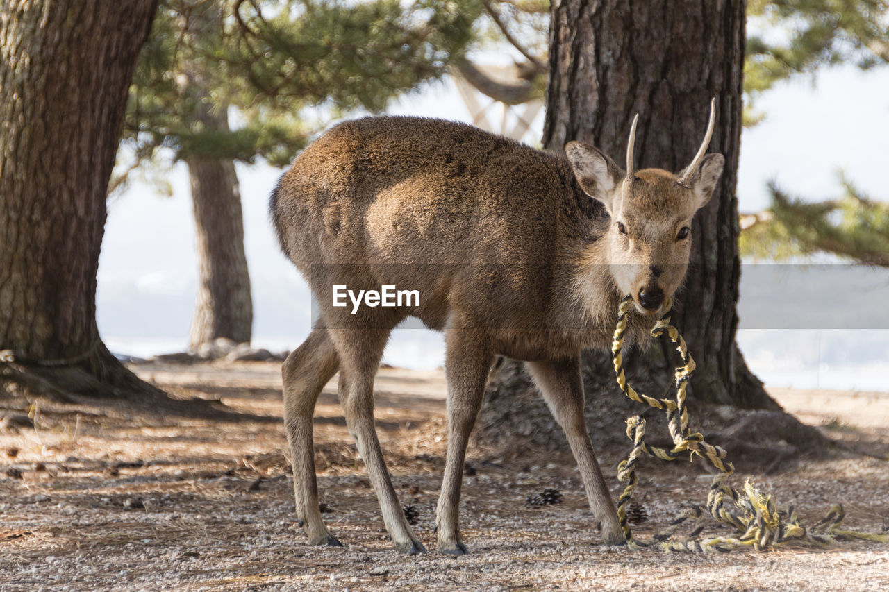 animal, tree, mammal, animal themes, tree trunk, trunk, plant, animal wildlife, vertebrate, animals in the wild, land, nature, day, focus on foreground, field, group of animals, deer, no people, outdoors, standing, herbivorous