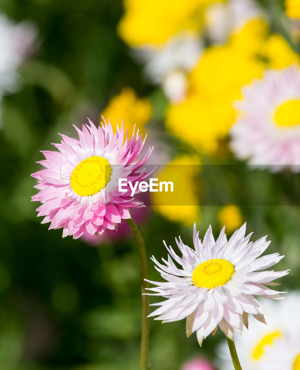 flowering plant, flower, freshness, plant, fragility, petal, vulnerability, beauty in nature, flower head, growth, inflorescence, yellow, close-up, focus on foreground, nature, white color, day, pink color, daisy, pollen, no people, outdoors, gazania