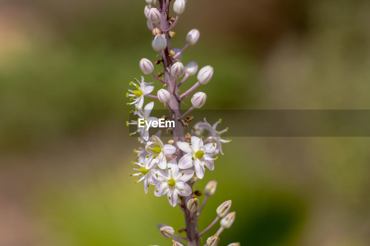 flowering plant, flower, freshness, plant, beauty in nature, growth, fragility, vulnerability, close-up, petal, no people, white color, day, nature, selective focus, focus on foreground, springtime, blossom, flower head, botany, outdoors, purple