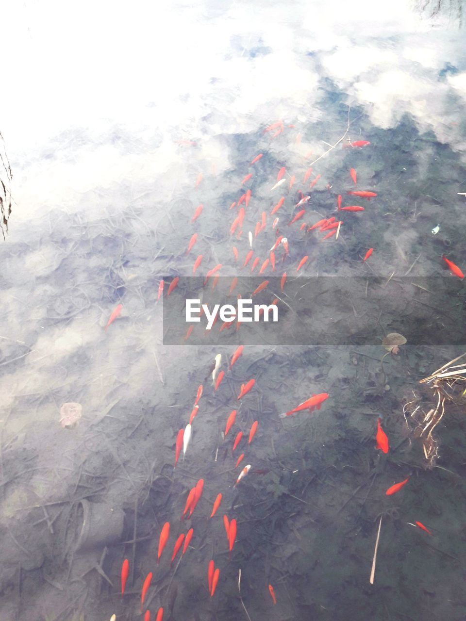 koi carp, high angle view, carp, nature, outdoors, day, swimming, large group of animals, animal themes, water, waterfront, no people, animals in the wild, close-up