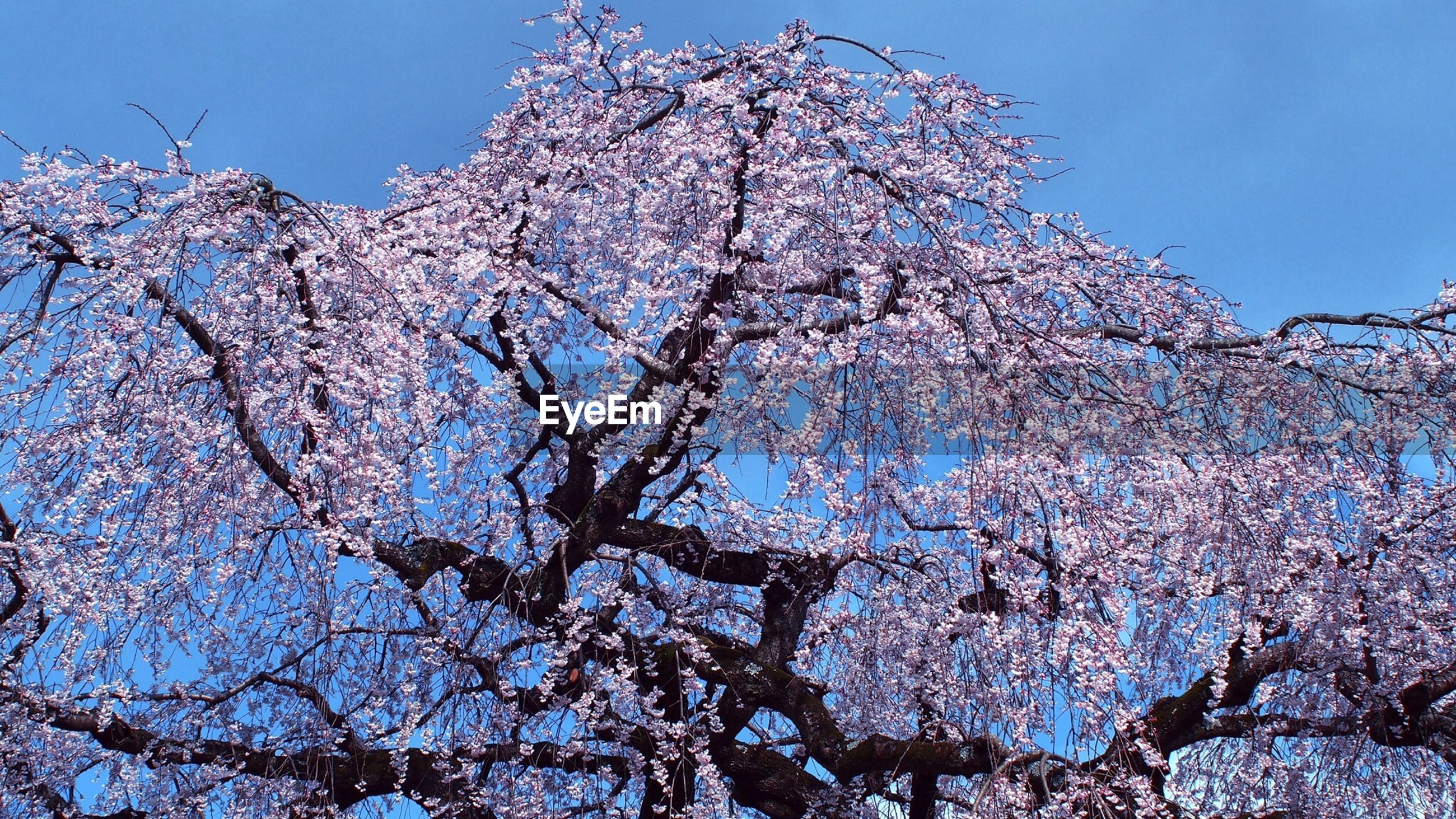 clear sky, low angle view, blue, tree, branch, flower, nature, growth, beauty in nature, fragility, cherry blossom, day, freshness, sunlight, outdoors, blossom, no people, cherry tree, sky, bare tree
