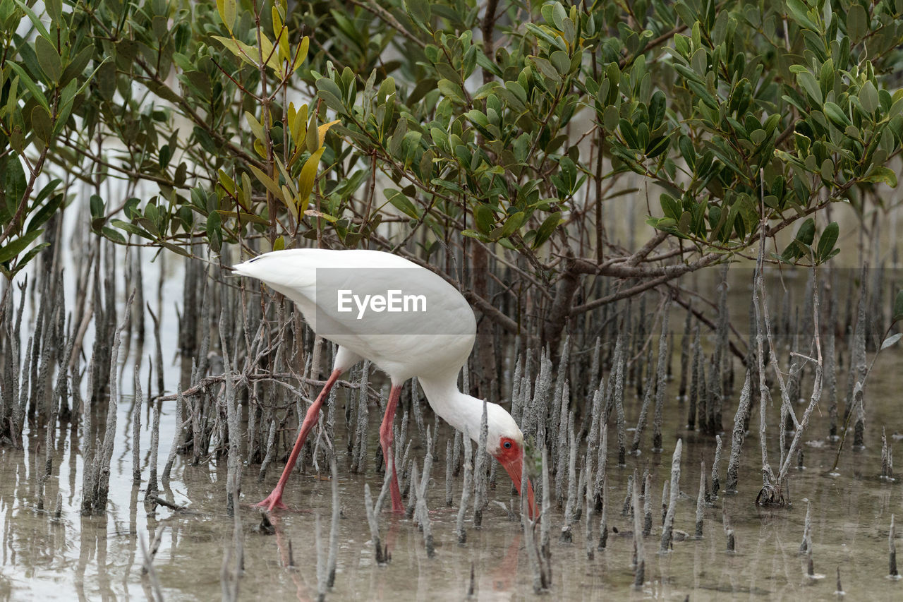 one animal, animals in the wild, great egret, bird, animal themes, lake, animal wildlife, water, white color, day, egret, nature, outdoors, no people, waterfront, full length, plant, tree, beauty in nature, close-up