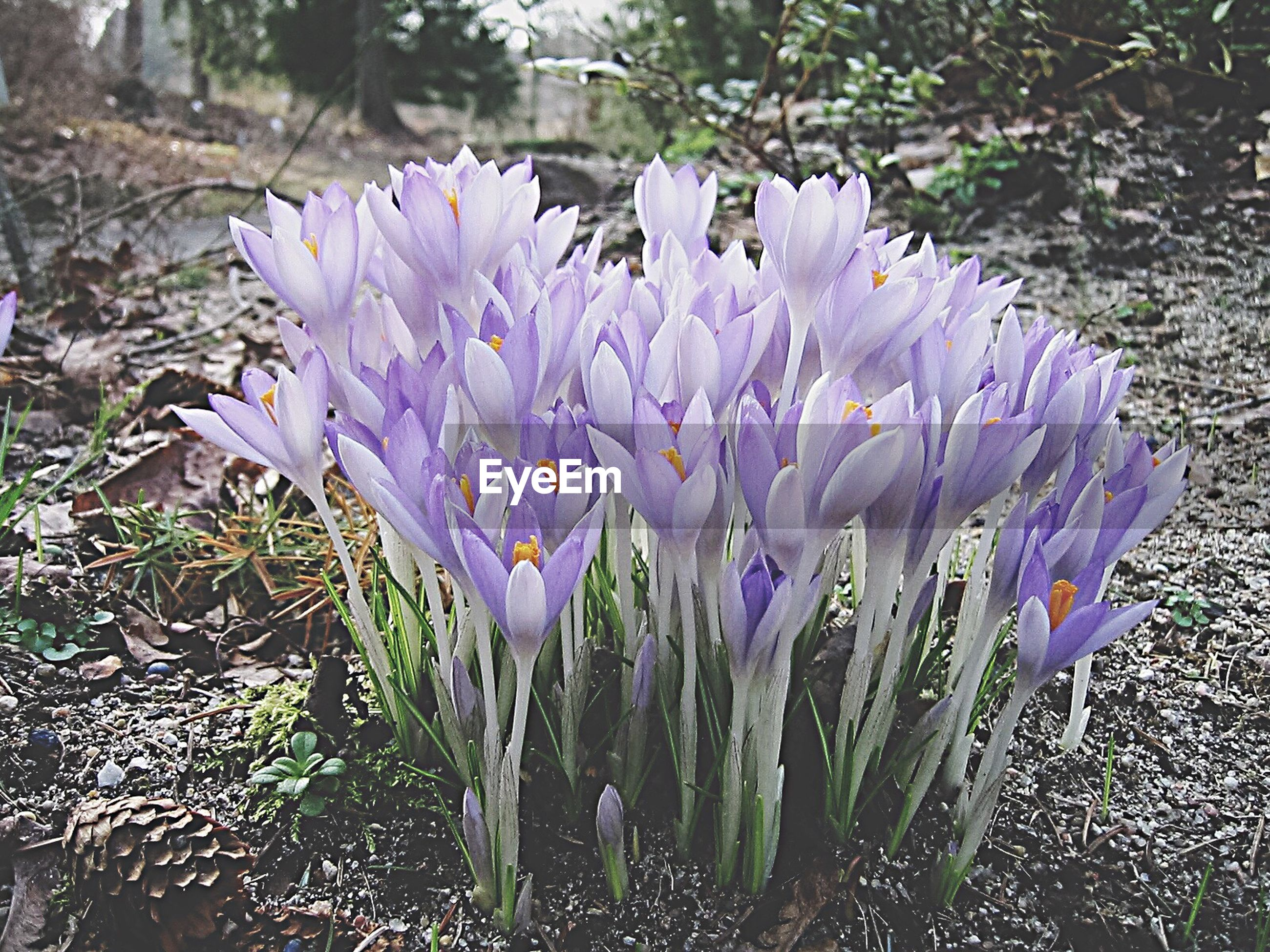 purple, flower, nature, beauty in nature, freshness, growth, fragility, plant, outdoors, day, close-up, no people, flower head, crocus