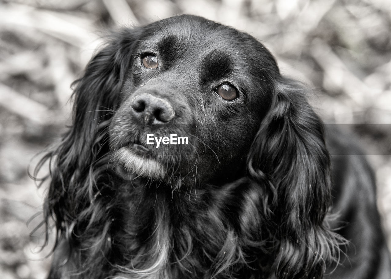 Close-Up Of Cocker Spaniel Looking Up