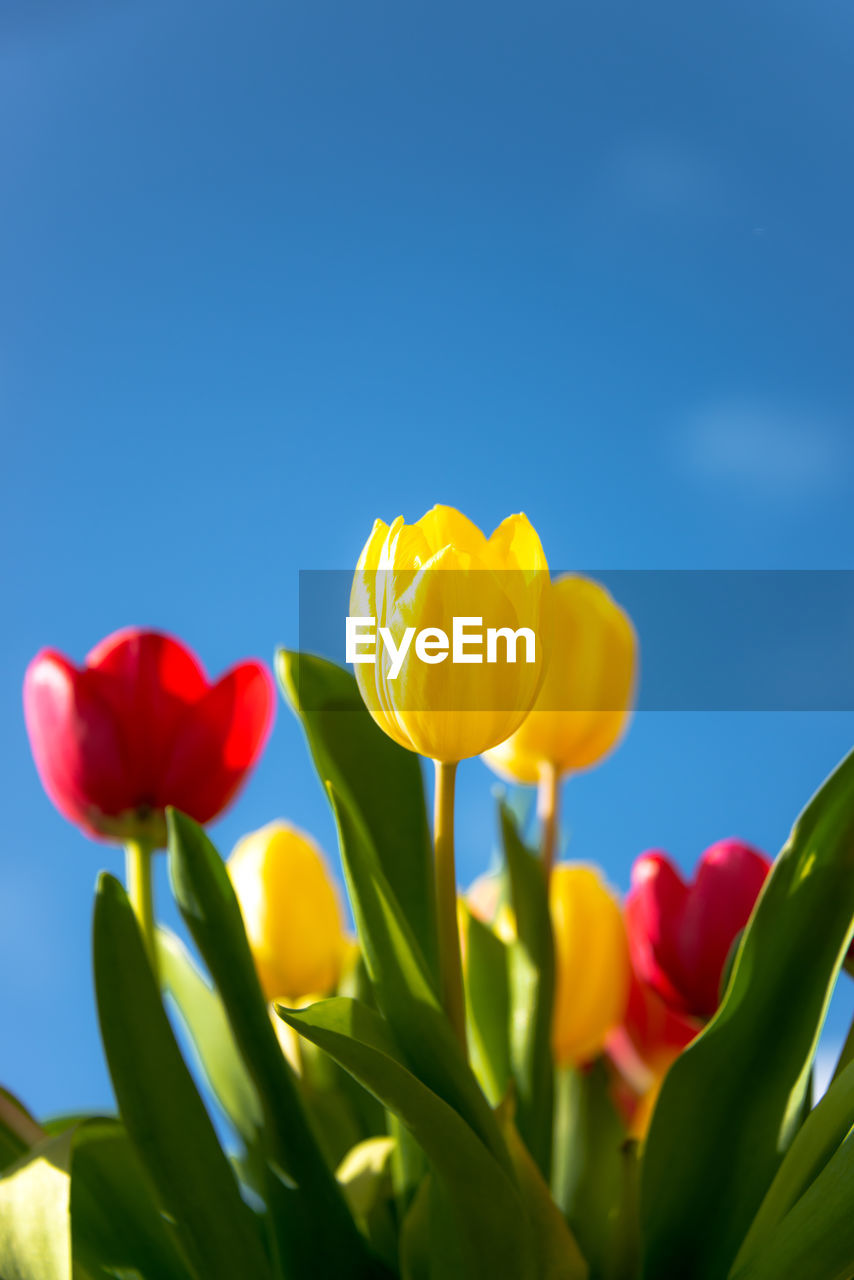 flower, flowering plant, beauty in nature, petal, plant, yellow, vulnerability, freshness, fragility, flower head, inflorescence, close-up, nature, growth, sky, tulip, no people, red, blue, clear sky, outdoors, springtime, flower arrangement, blue background