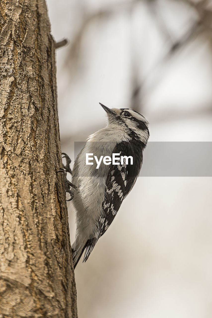 animal, animal themes, one animal, vertebrate, animals in the wild, animal wildlife, bird, tree trunk, trunk, no people, tree, perching, focus on foreground, nature, outdoors, day, close-up, plant, branch, woodpecker