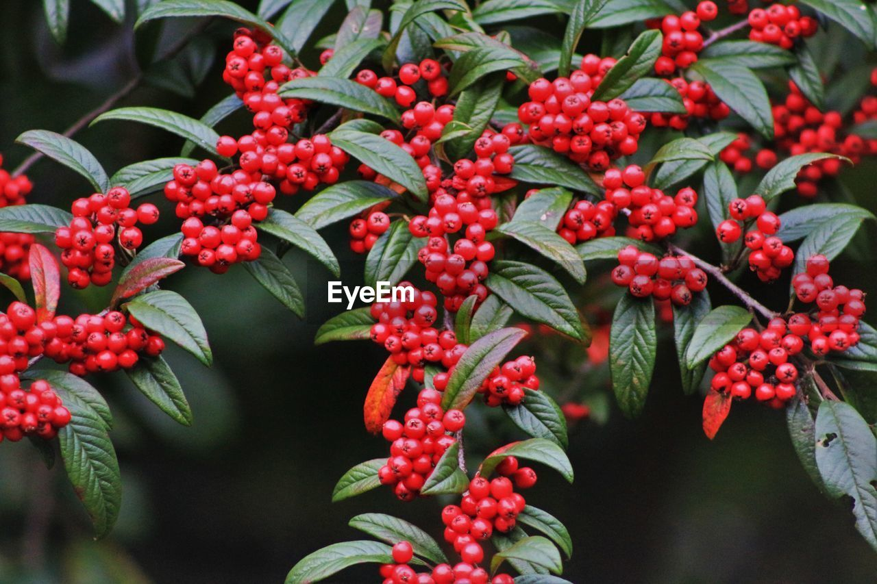 fruit, red, growth, berry fruit, growing, leaf, green color, outdoors, food and drink, no people, nature, rowanberry, freshness, day, food, beauty in nature, tree, close-up